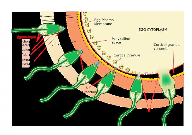 Spermatozoizi care ajung la un ovul